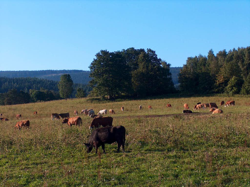 Cows cows cows...