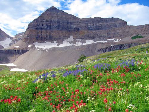 Timpanogos Basin wildflowers