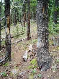 A 'fence' to treeline