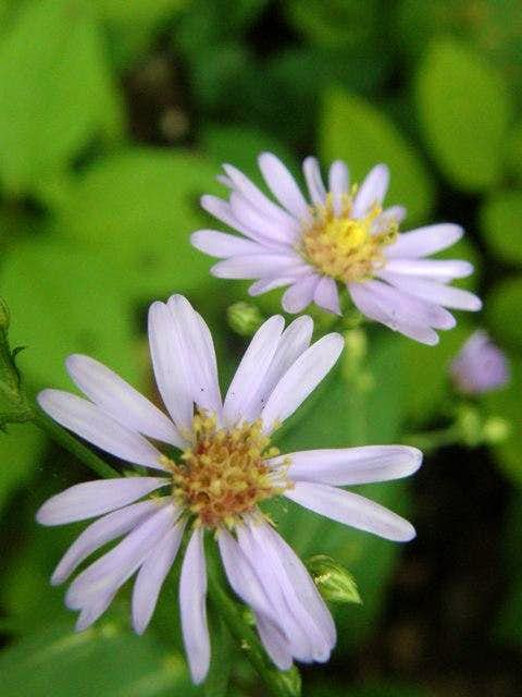 Asters on Minong Ridge