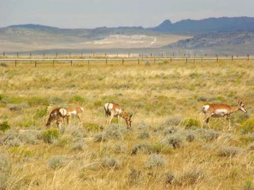 Pronghorn near Independence Rock