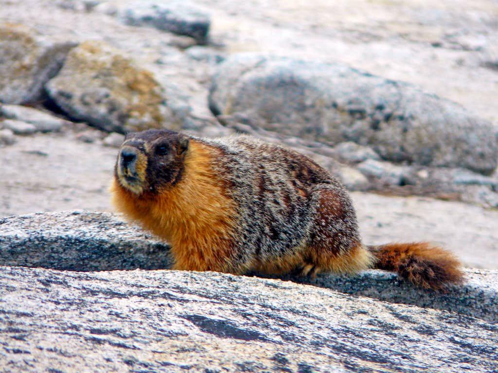 Marmot on Yosemite Point
