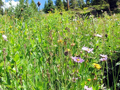 Meadows on Colorado Trail
