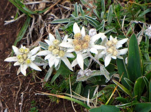 Pretty group of Edelweiss