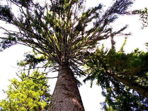 Huge spruce...