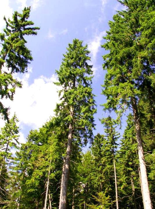 Spruce forest...