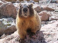 Boulerfield marmot