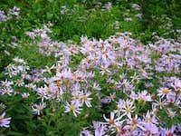 Alpine Flora #3