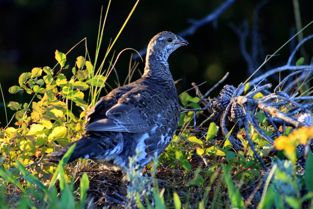 A grouse amongst the start of the 2010 fall colors