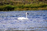 A bird on the Madison River