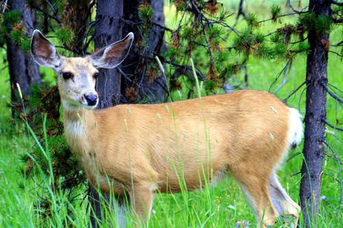 A Deer Close Up....