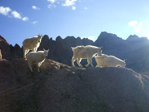 No surprise here: Goats at Twin Lakes