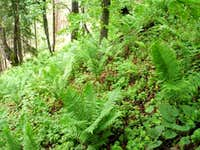 Rich fern undergrowth...