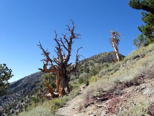 Bristlecone trees, both the