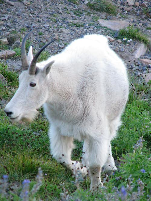 Mountain Goat Close Up