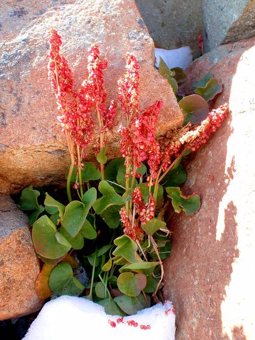 Mountain Sorrel