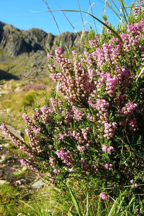 Snowdonia heath