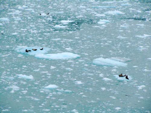 Seals by Hubbard Glacier