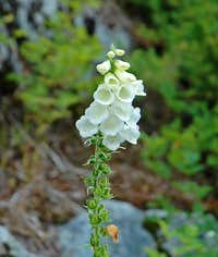 Common Foxglove