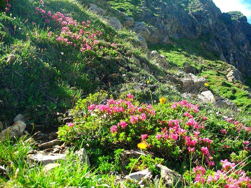 Rhododendrons above the Rauhekopfscharte-Stuttgart hut trail