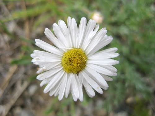 Aster or Daisy