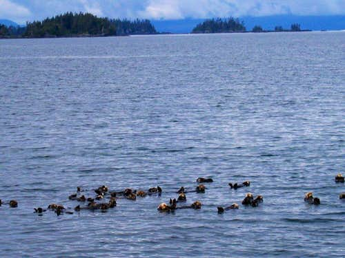 sea otters at Sitka