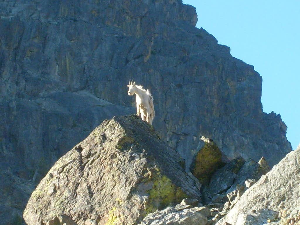 Goat on a rock