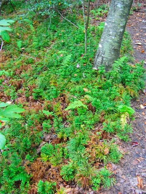 Vibrant greens of mosses and...