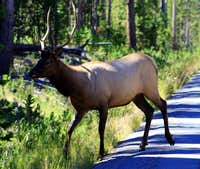 A rare sight.....A Bull Elk licking his lips