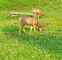 Logan Pass deer