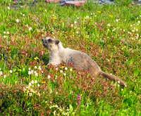Logan Pass marmot