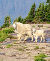 Logan Pass mountain goats