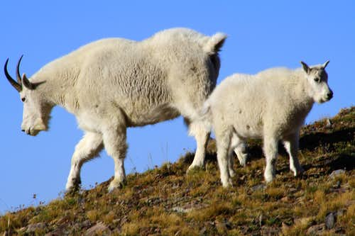 A couple of Mountain Goats