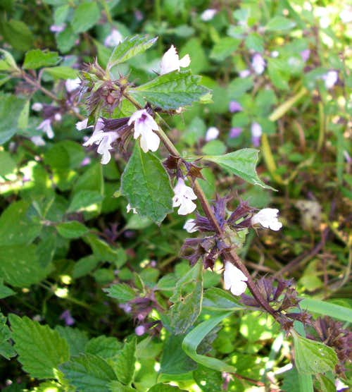 Black Horehound...