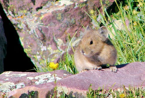 Gunsight Pass Pika