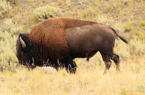 Bison, of course.