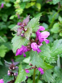 Spotted Deadnettle...