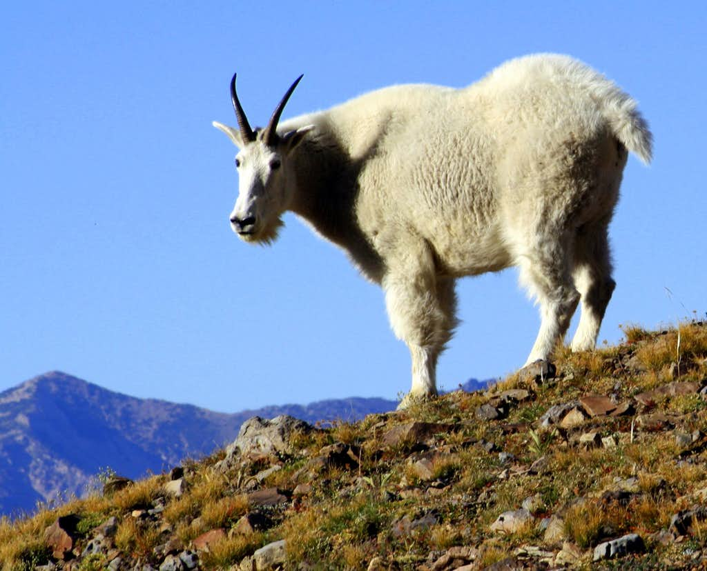 A Mountain Goat on Timpanogos