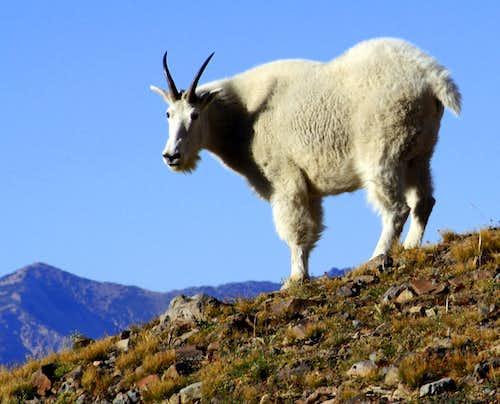 A Mountain Goat on Timpanogos