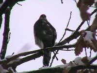 The  sparrowhawk <i>(Accipiter nisus)<i>