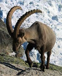Big ibex in front of Ried glacier.