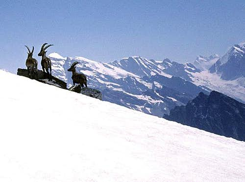 Ibex on Hockenhorn