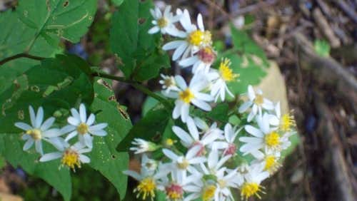 An Early Fall Aster