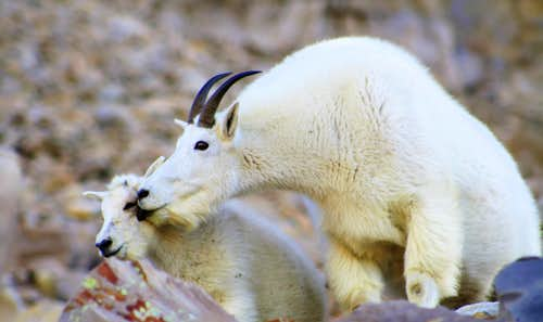 A mother Mountain Goat licking her calf....Emb