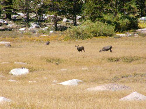 Mule Deer near Cottonwood Lake #1