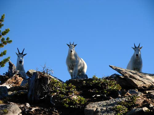Alpine Lookout Mountain Goats