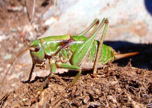 Long-Horned Meadow Katydid