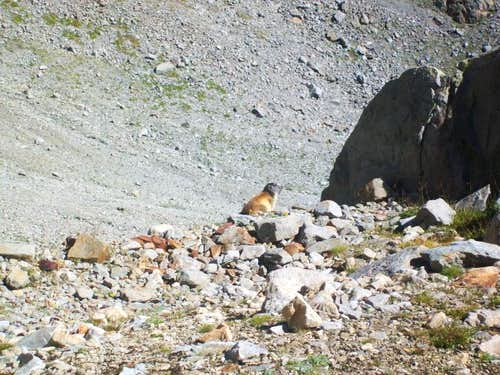 Marmot in the vicinity of Aiguilles Rouges