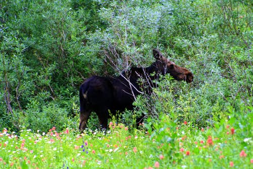 A Moose at the Albion Basin Campground
