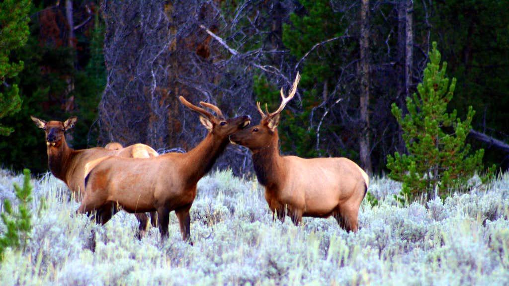 Elk Eskimo Kissing????